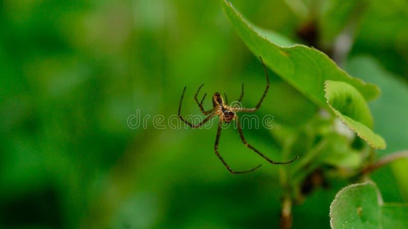 净蜘蛛 免版税库存照片