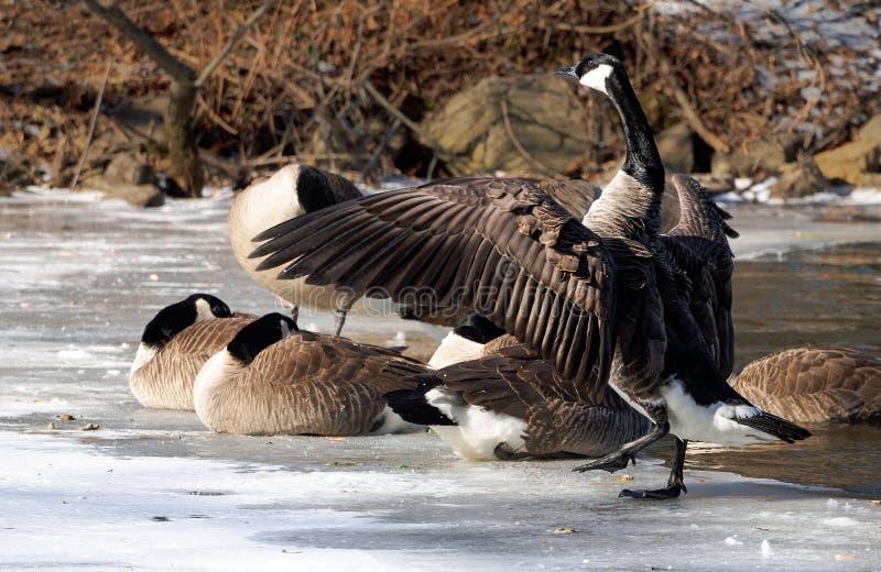 准备加拿大的鹅采取在一个冻湖的飞行 库存照片
