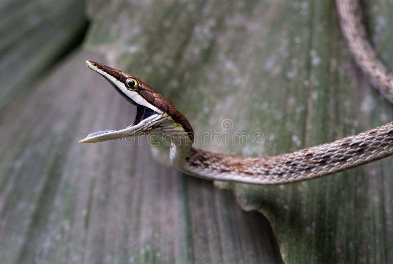 准备好一条棕色藤的蛇咬住 库存图片