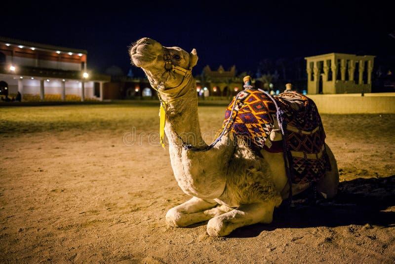 准备好唯一的骆驼乘坐外面 库存图片