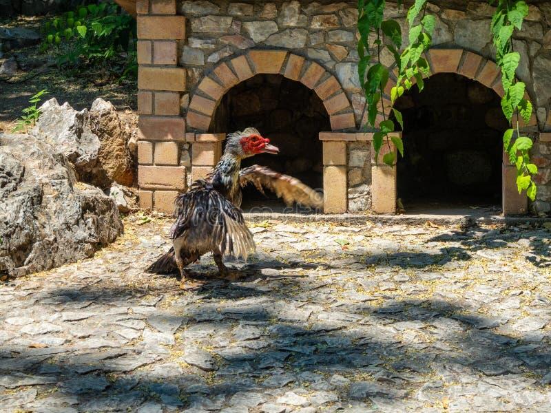 准备好好斗的公鸡的火鸡在雅典,希腊战斗 库存照片