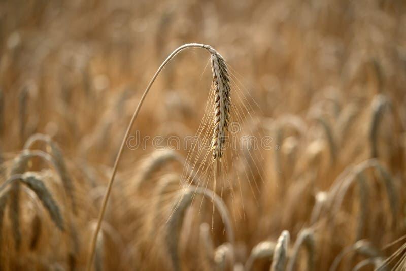 准备好成熟五谷的麦田收获 免版税库存图片