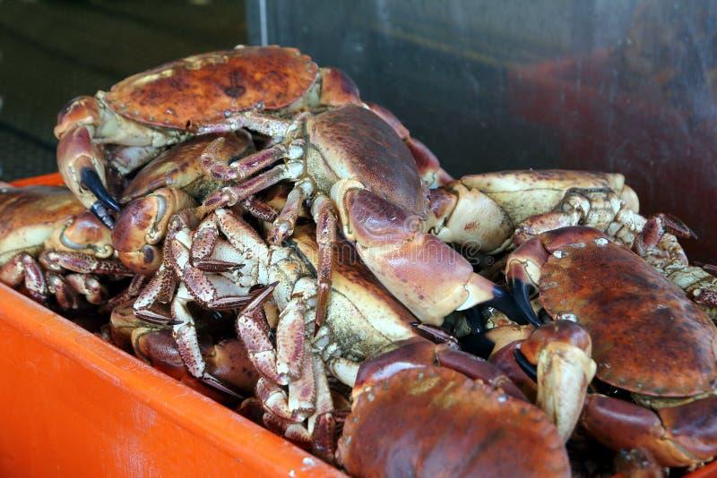 准备好新近地被捉住的活可食的螃蟹被卖在fishmon 免版税库存图片