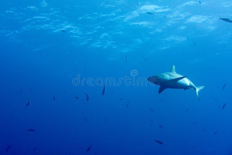 准备好灰色的鲨鱼攻击在蓝色的水中 库存图片
