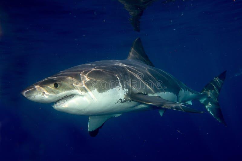 准备好的大白鲨鱼攻击 库存图片