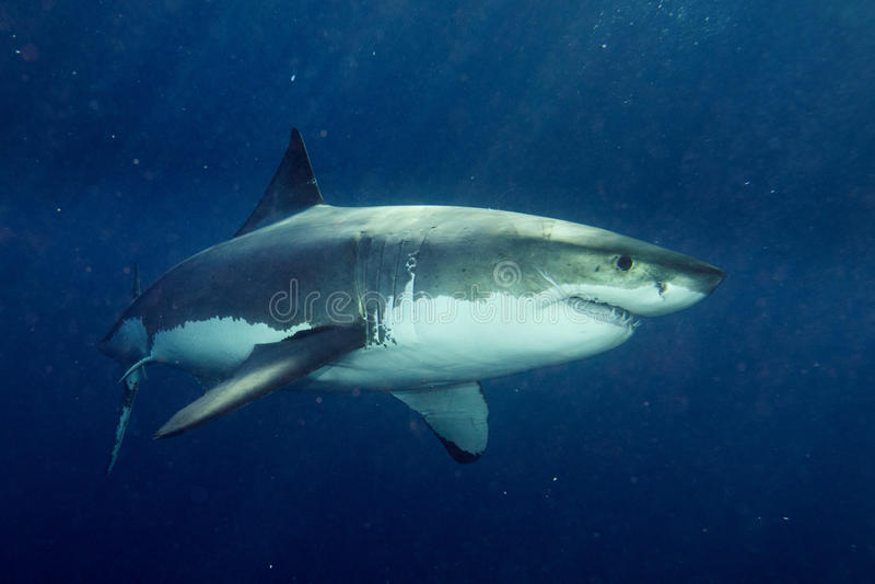 准备好的大白鲨鱼攻击 免版税库存图片