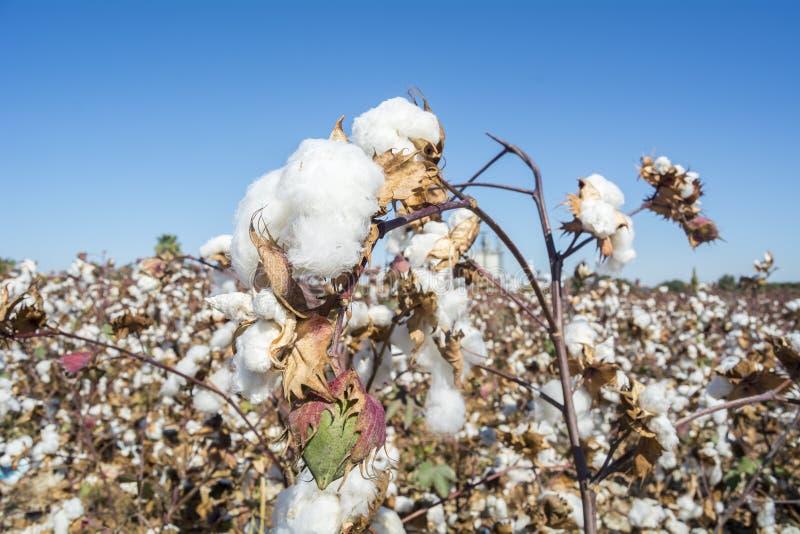 准备好的棉树收获 免版税库存照片