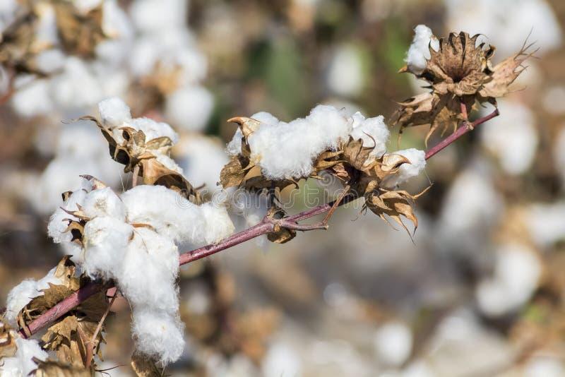 准备好的棉树收获 免版税库存图片
