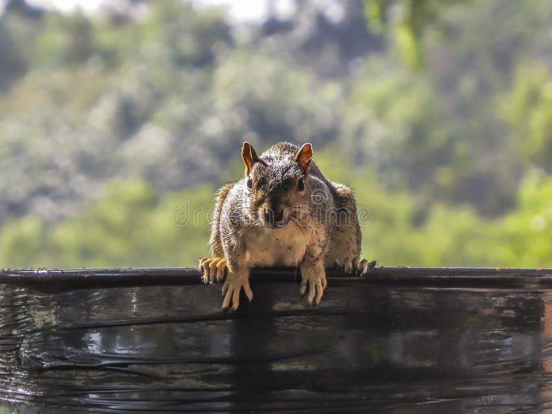 准备好的灰鼠跳跃 免版税图库摄影
