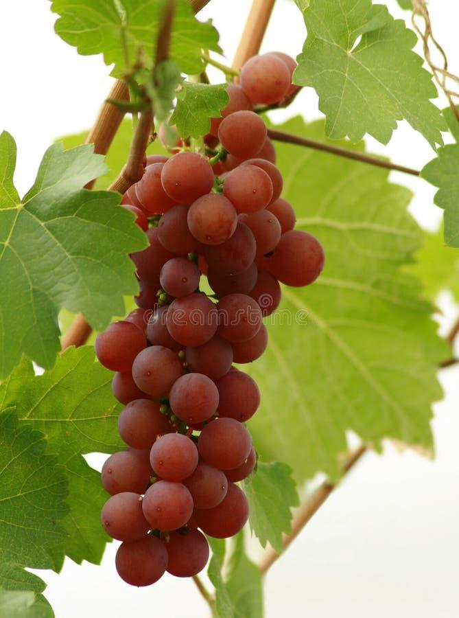 准备好葡萄的收获 免版税库存照片