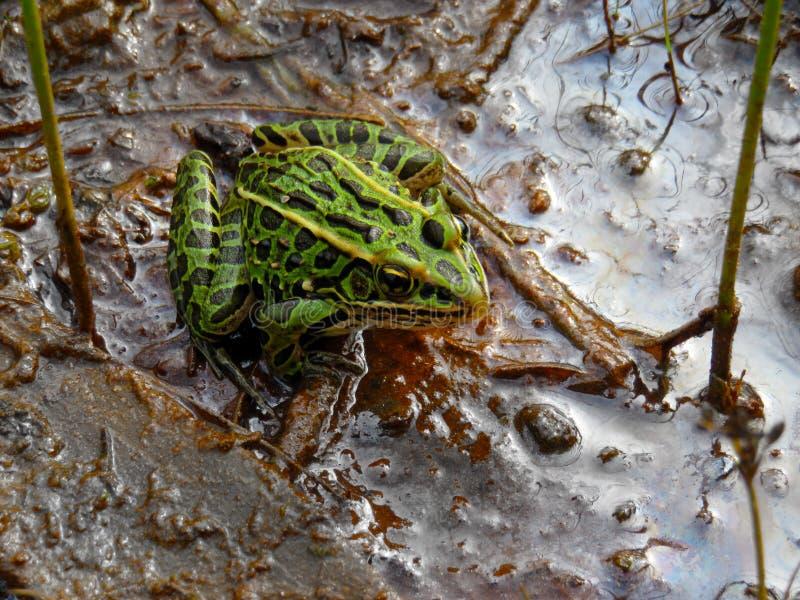 准备好被察觉的青蛙跳跃  图库摄影