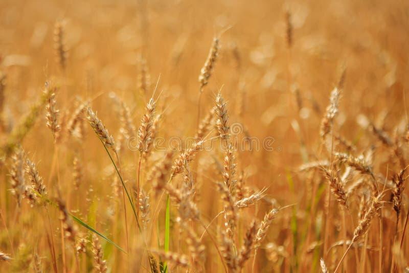 准备好金黄的麦田收获 库存图片