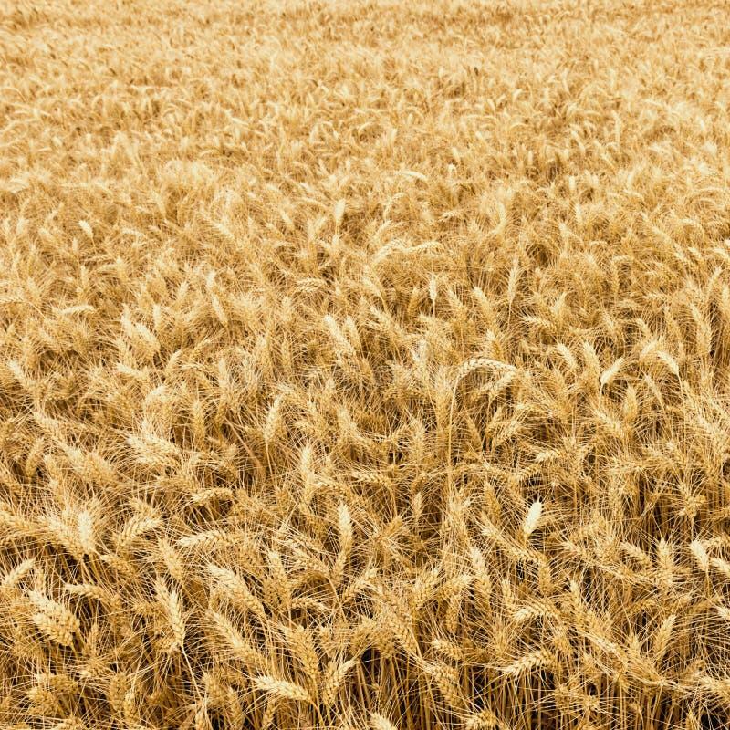 准备好金黄的麦田被收获 免版税库存照片