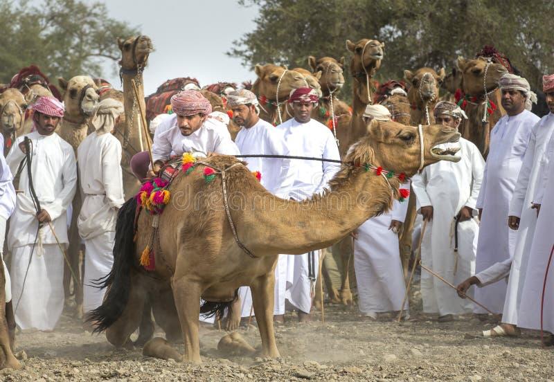 准备好阿曼的人赛跑他们的在的骆驼多灰尘的国家 库存图片