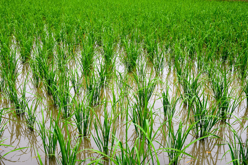 准备好年轻米的新芽看法  免版税库存图片