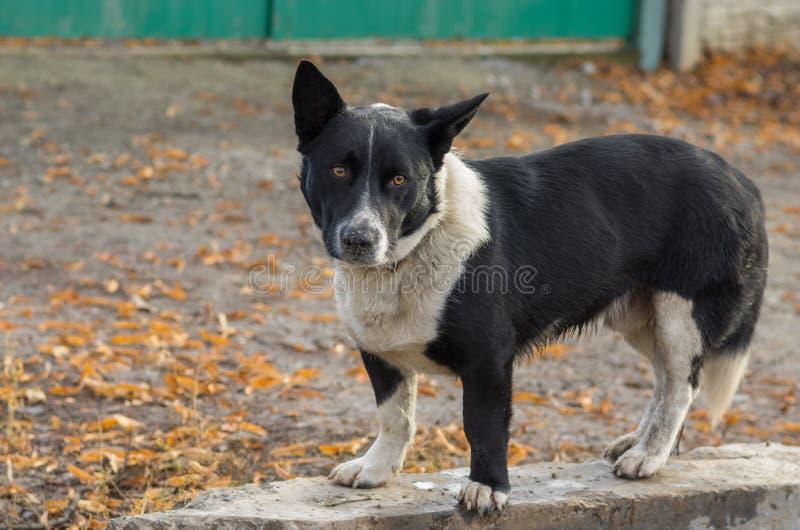 准备好黑,矮胖,混杂的品种的狗保卫它的疆土 库存图片