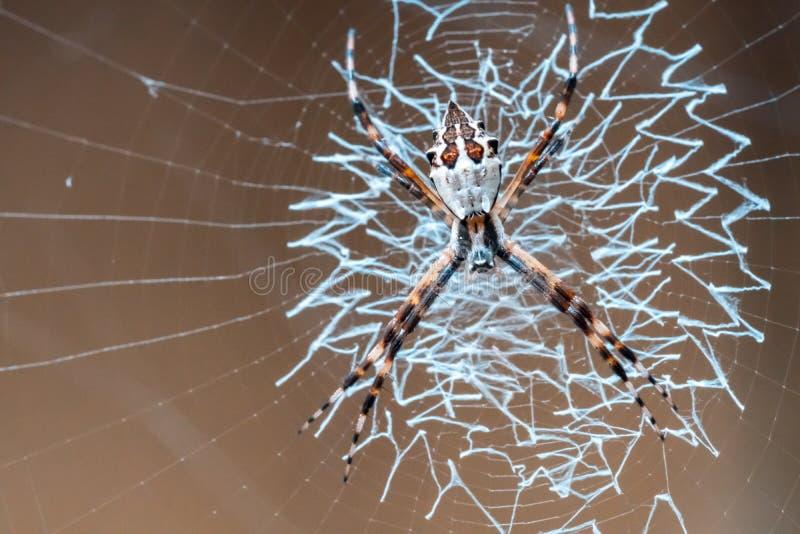 准备它的在它的网,宏观摄影的织布工蜘蛛鸡蛋 免版税库存图片