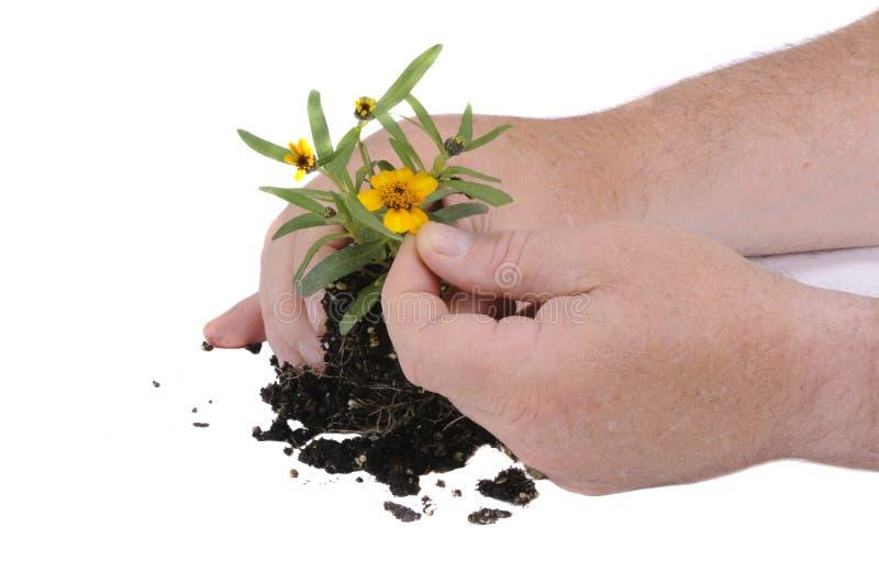 准备对盆栽植物的花匠 免版税库存图片