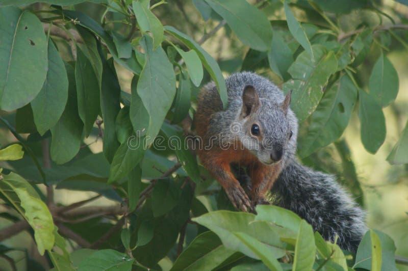 准备的灰鼠从树跳跃 库存图片