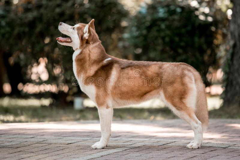 凉快的西伯利亚巧克力多壳的狗站立并且朝前看 鲜绿色的树和草在背景 库存照片