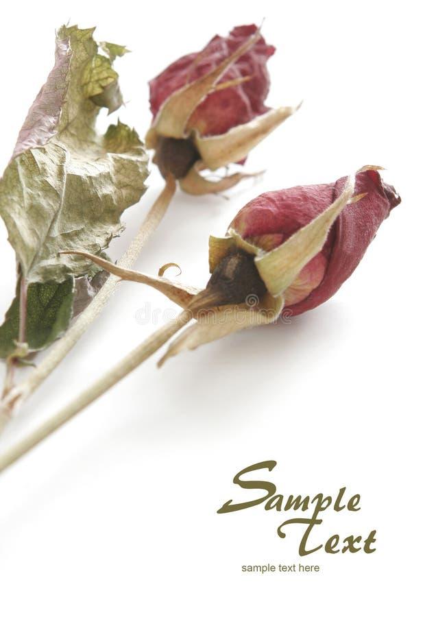凋枯的红色玫瑰 图库摄影