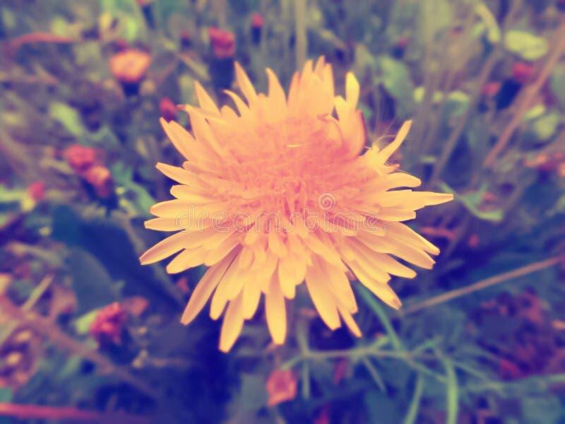 减速火箭的开花的黄色蒲公英花 免版税库存照片