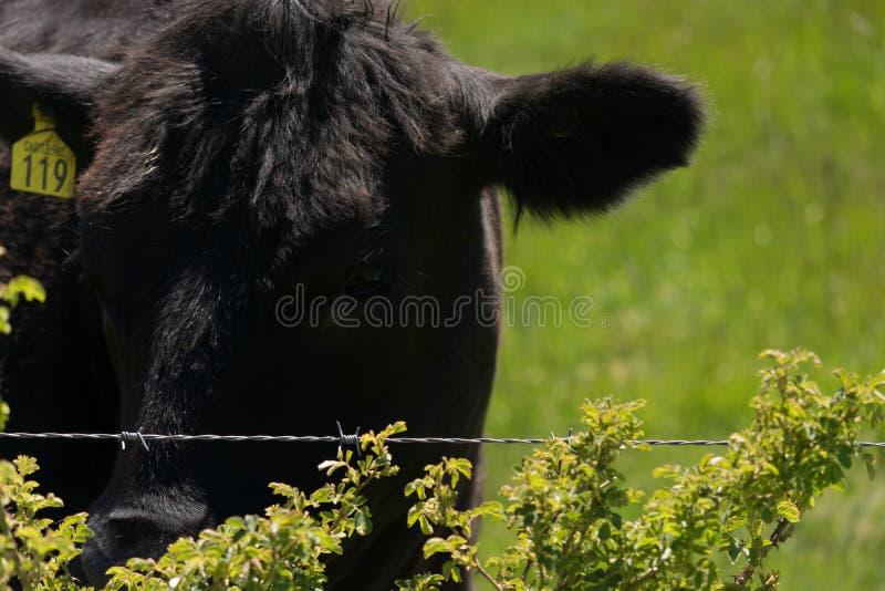 凝视在篱芭的黑母牛在新西兰 库存图片