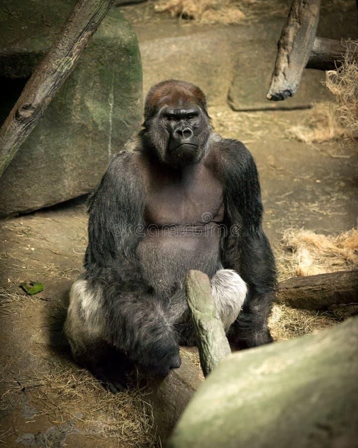 凝视大猩猩在Brookfield动物园的猿房子里 免版税库存图片