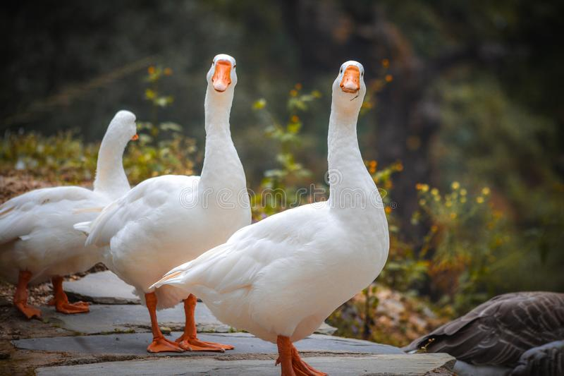 凝视您的两三只鸭子 免版税库存图片