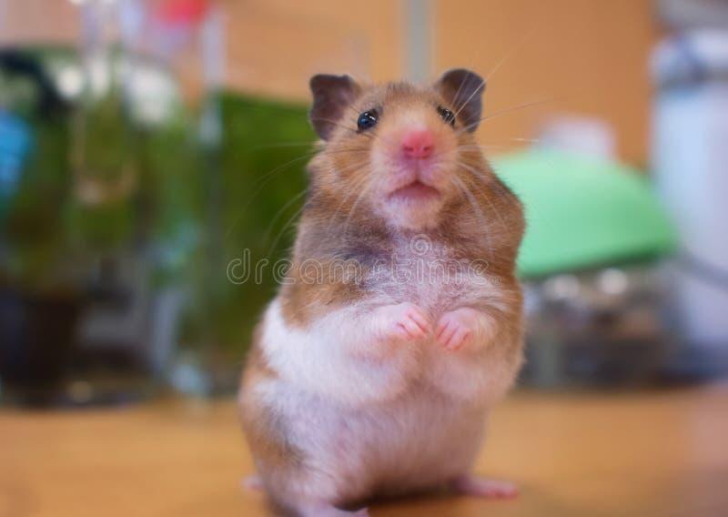 凝视我的仓鼠 免版税图库摄影