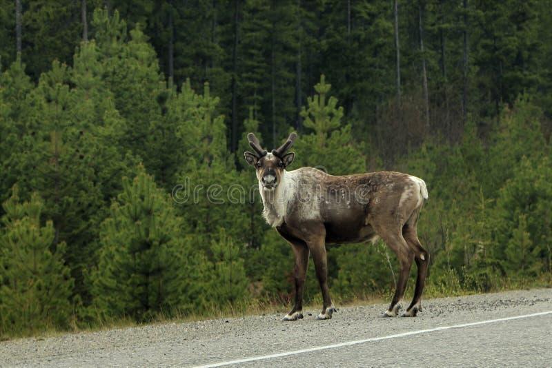 凝视我的公北美驯鹿在路在加拿大 库存照片