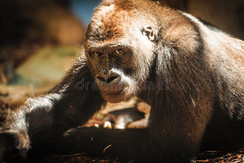 凝视照相机的好奇大猩猩 图库摄影