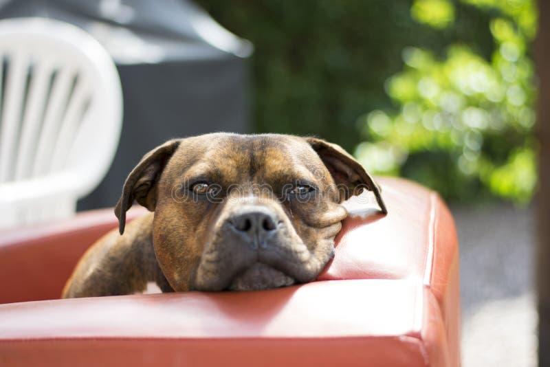 凝视照相机的Staffy狗 免版税库存照片