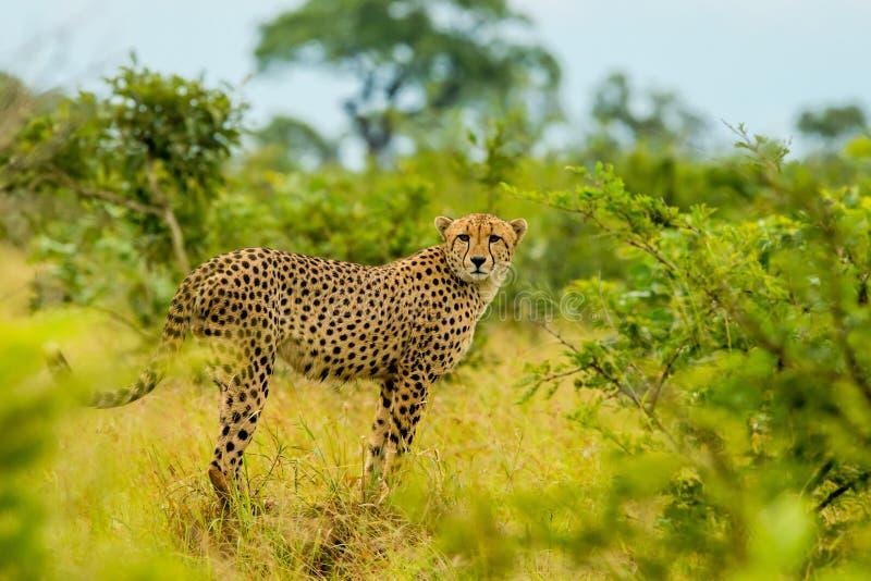 凝视猎豹 免版税图库摄影