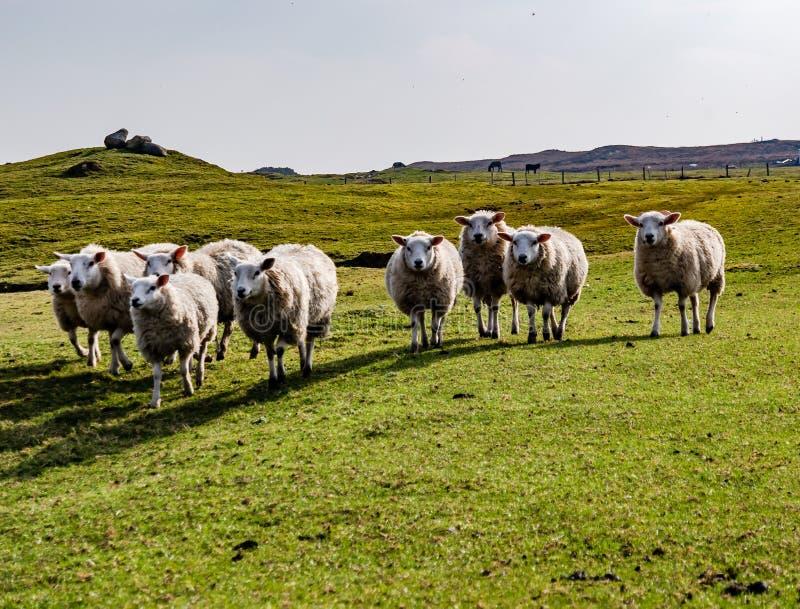 凝视绵羊滑稽的群调查照相机的 免版税库存照片