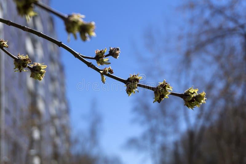 几乎没有被张开的槭树芽 库存照片