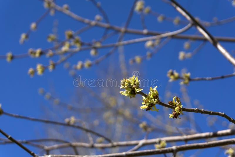 几乎没有被张开的槭树芽 图库摄影