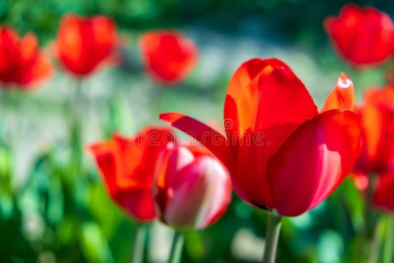几五颜六色和芬芳郁金香 库存照片