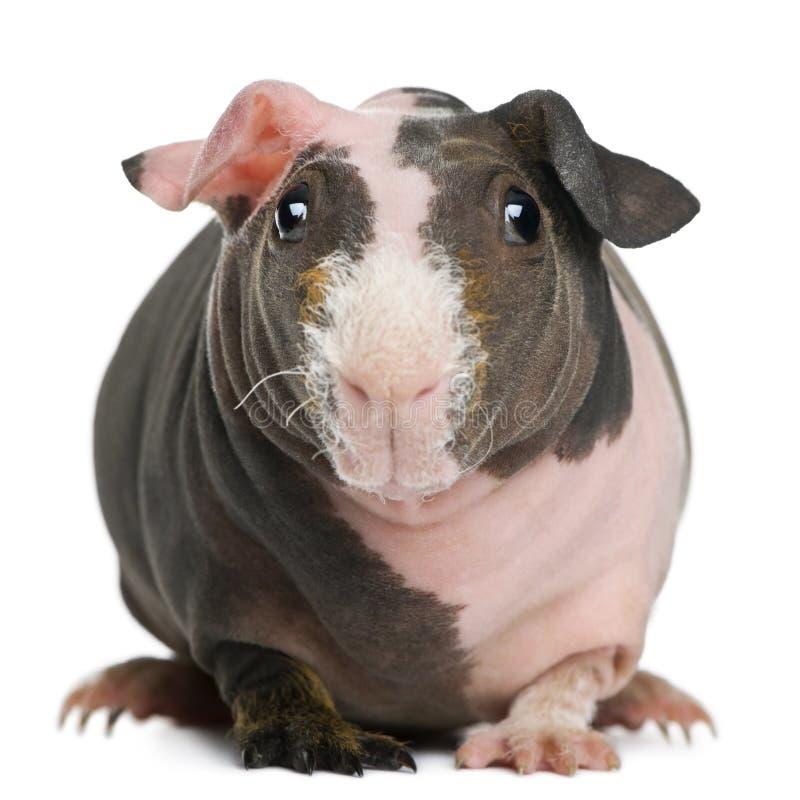 几内亚无毛的猪身分 免版税库存图片