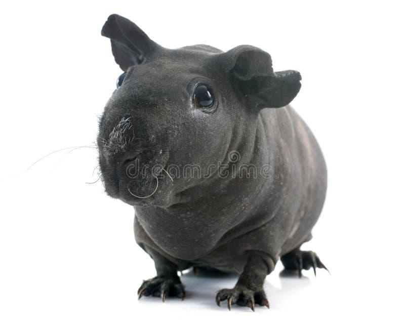 几内亚无毛的猪 库存照片