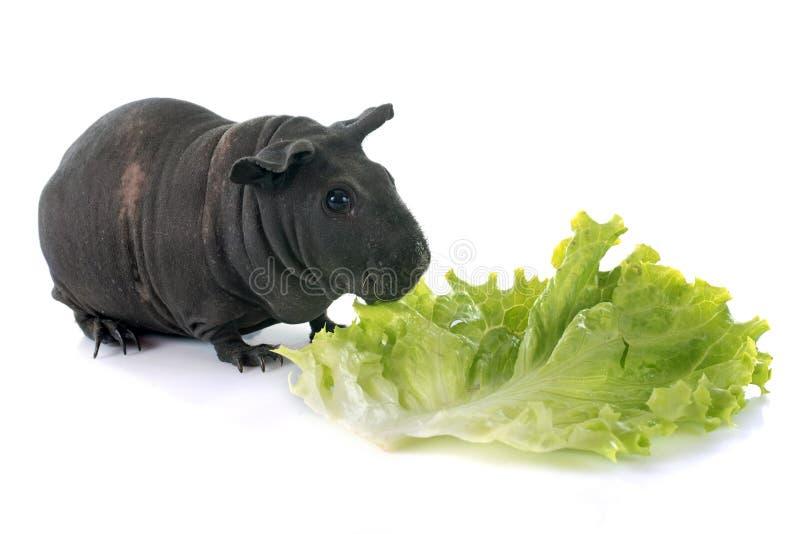 几内亚无毛的猪 图库摄影