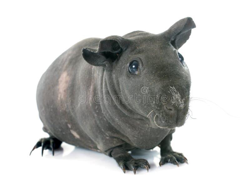 几内亚无毛的猪 库存图片