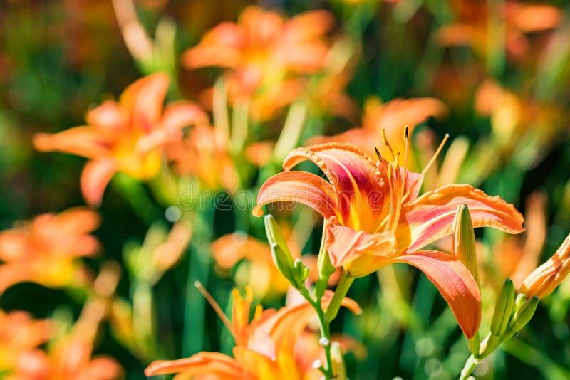 几开花在庭院里的萱草属植物fulva或橙色黄花菜 免版税库存图片