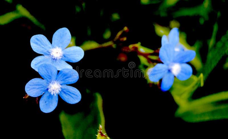 几朵小的蓝色花 库存图片