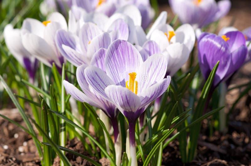 几朵白色和紫色番红花花 库存图片