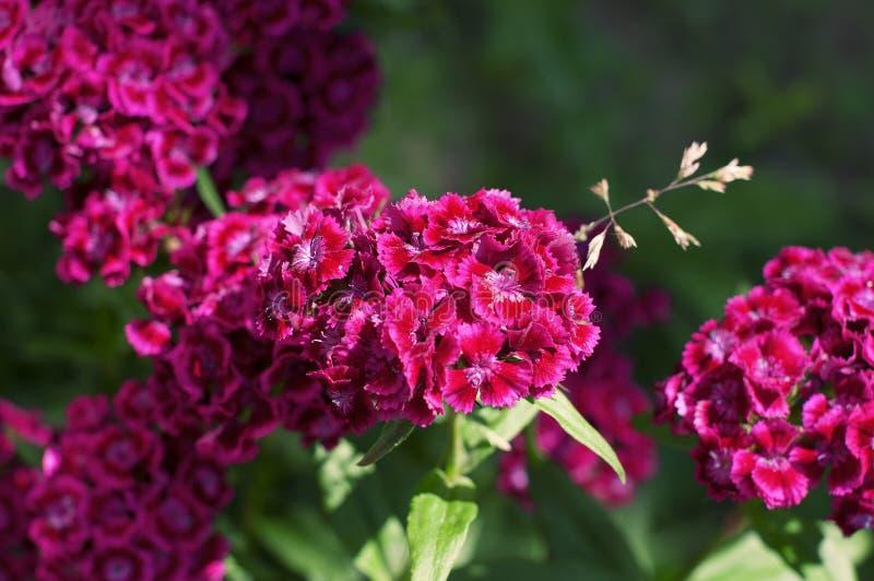 几朵紫色庭院花-康乃馨开花  免版税库存照片