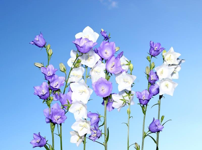 几朵蓝色和白色吊钟花 图库摄影