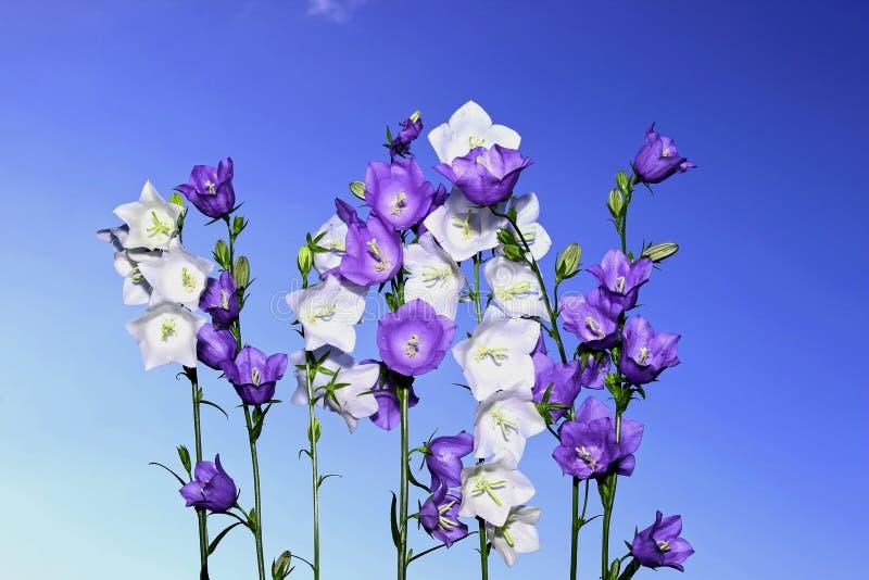 几朵紫罗兰色和白色吊钟花 免版税库存图片