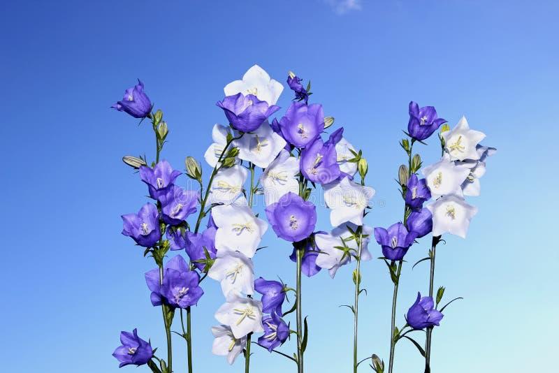 几朵紫罗兰色和白色吊钟花 库存图片
