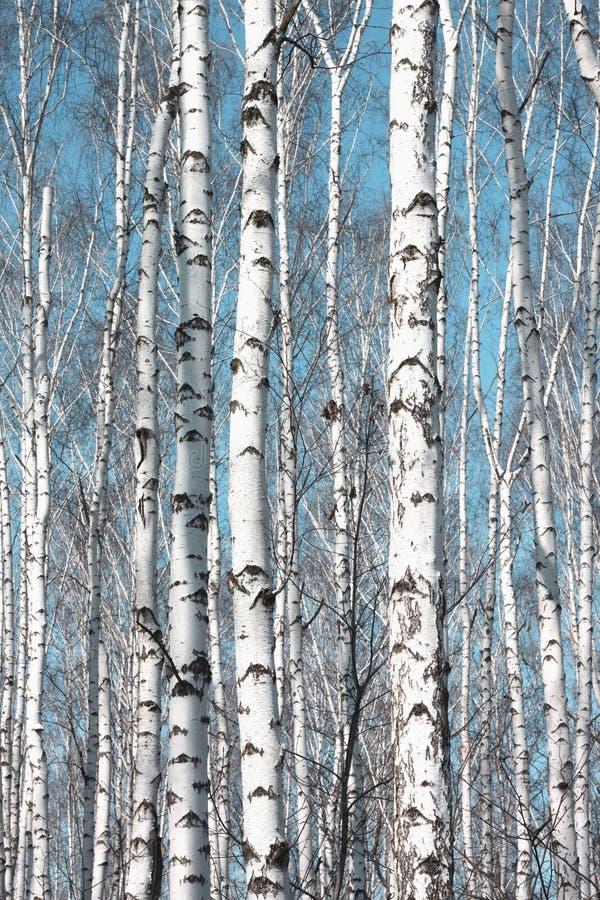 几桦树在桦树树丛里在其他桦树中 库存照片